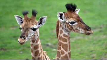 How Baby Giraffes Helped Upgrade NASA Astronaut Equipment