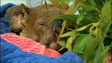 Koala Saved From Australian Bushfire Reunited With Woman Who Rescued Him
