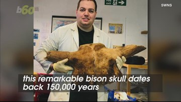 Complete 150,000-Year-Old Bison Skull Uncovered in Quarry