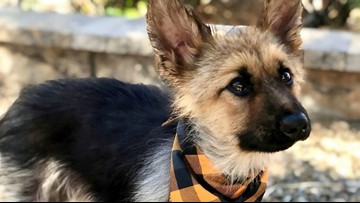 Cuteness Overload! Adorable German Shepherd with Dwarfism