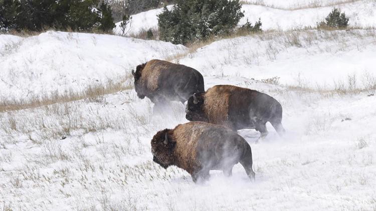 Bison released Badlands National Park