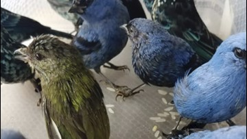 Belgian Man Arrested For Trying To Smuggle 20 Live Birds Out Of Peru Airport