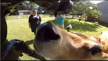 Oliver! Charismatic cow from Catawba County breaks the internet