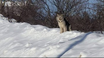 Maine man captures rare video of 3 lynx