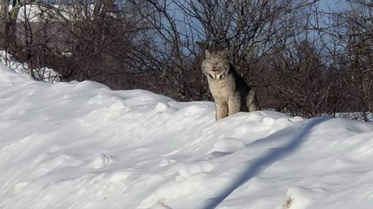 Maine man captures rare video of 3 lynx