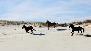 North Carolina's wild horses survive Hurricane Florence