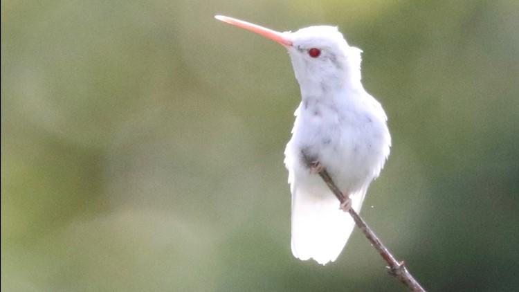 Rare albino ruby-throated hummingbird spotted in Northeast Ohio backyard