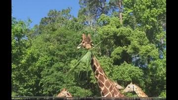 Jacksonville Zoo mourning loss of beloved giraffe