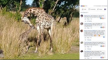 Baby giraffe born at Disney World's Animal Kingdom