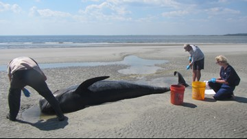 More than two dozen whales beach themselves on St. Catherines Island in Georgia