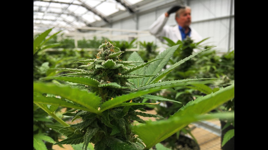 Medical cannabis production and dispensing starts in Northeast