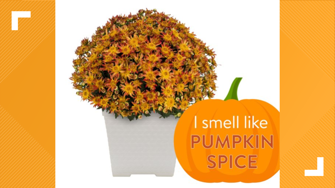 Pumpkin spice scented mums now on sale