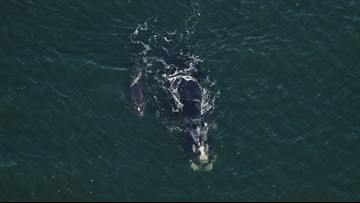 Efforts made to protect critically endangered right whale on First Coast