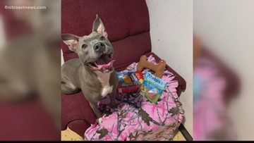 Jacksonville pit bull rescue worker trying to save sexually abused dog from being euthanized