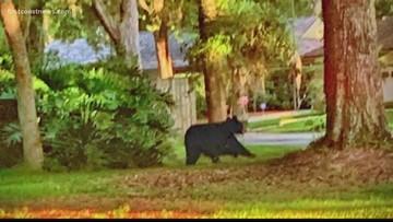 Deputies: Bear spotted in Fleming Island neighborhood