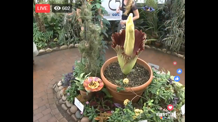 Rare corpse flower blooming at Tucson Botanical Gardens