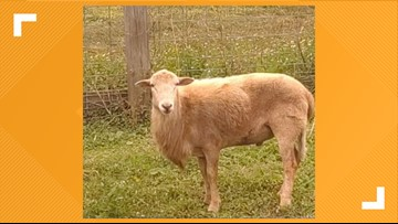 BAAA 🐑| Do I look familiar? Police find sheep roaming in south Jacksonville