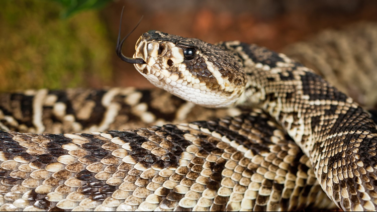 An 11-year-old boy suffered an apparent rattlesnake bite Friday afternoon in Putnam County.