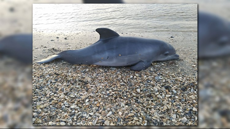 Dolphin death_1528399715297.png.jpg