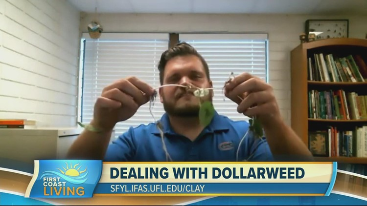 Do away with Dollarweed once and for all
