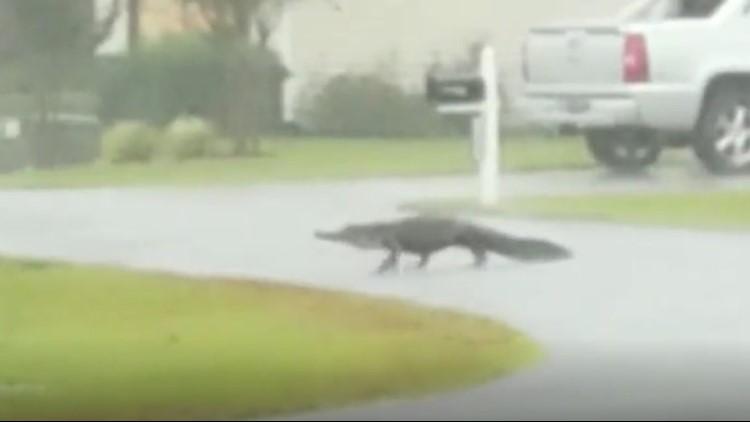 Run gator, run!