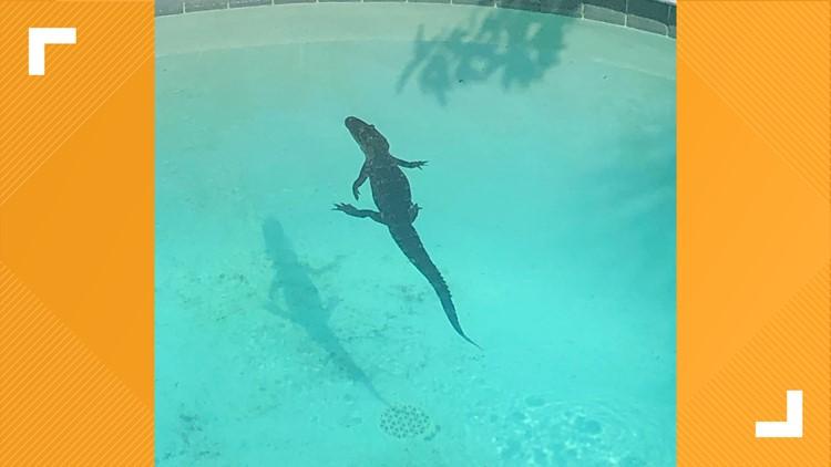 Fernandina  Beach resident finds alligator in pool