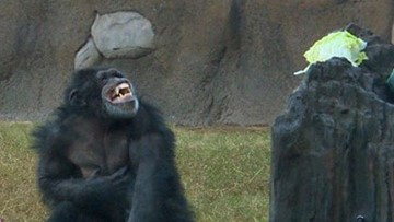 Chimp breaks protective glass at Houston Zoo; exhibit evacuated