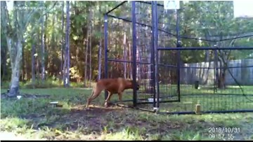 Jacksonville man spends three years trying to rescue boxer who escaped into the wild
