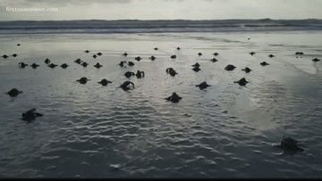 It's time to shell-ebrate! First day of sea turtle nesting season