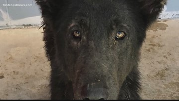 Rescued German Shepherds will need weeks, possibly months, before adoption