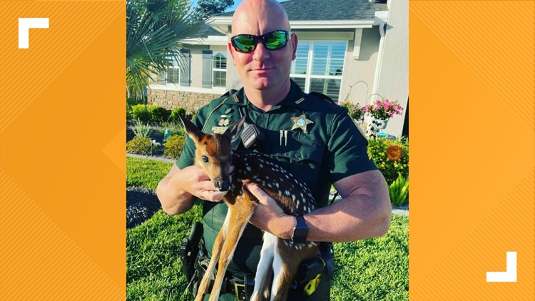 SO CUTE! Nassau County deputies help rescue fawn abandoned by mother