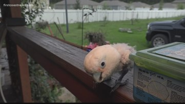 Griffi the Dancing Cockatoo, locked in a cage for 5 years, turns a new feather on life