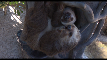 Sloth exhibit a big hit for St. Augustine holiday visitors