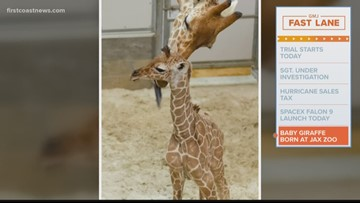 Baby giraffe born at the Jacksonville Zoo