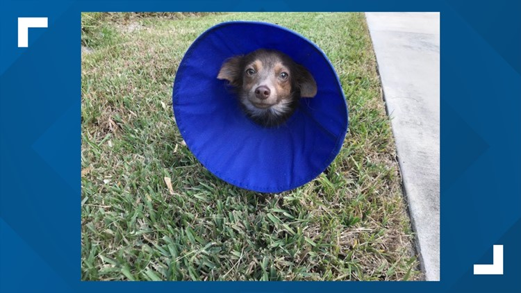 dog rescued from being euthanized after owners cant afford surgery