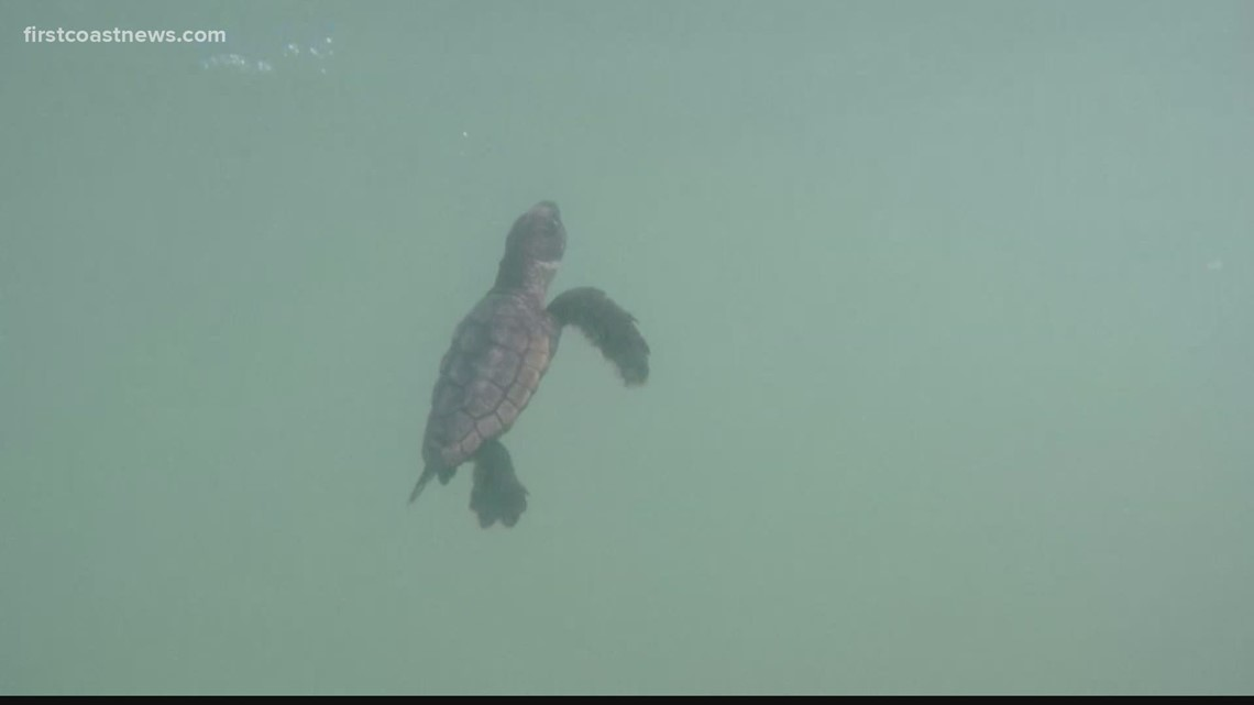Florida Wildlife Commission plans to phase out permits for sea turtle rescue groups