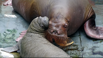 SeaWorld welcomes baby walrus to the family!