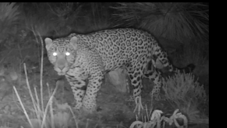 Are jaguars returning to the U.S.? Cameras capture a young male