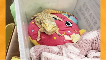 Florida girl brings pet bearded dragon to school so it wouldn't be sad