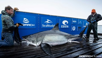 Three great white sharks pinged off the coast of Jacksonville