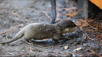 Otterly adorable! Baby otters born at zoo in Gainesville