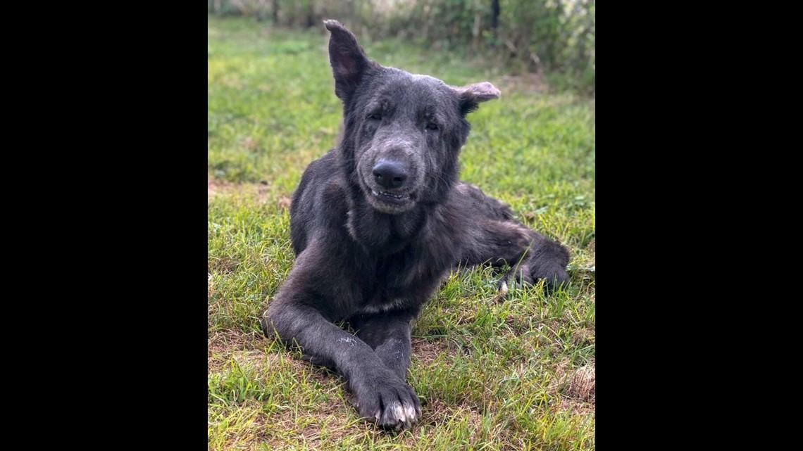 PHOTOS: Nassau Humane Society heartwarming update on rescued German Shepherds