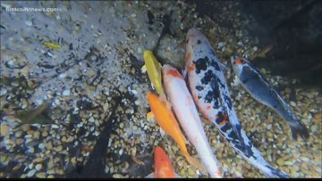 Koi fish home again, two years after Irma