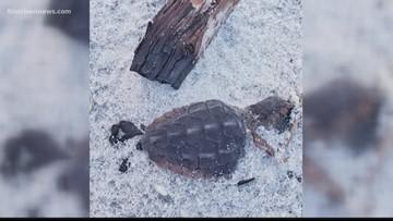 Sea turtles nests disturbed, baby turtles killed during Hurricane Dorian