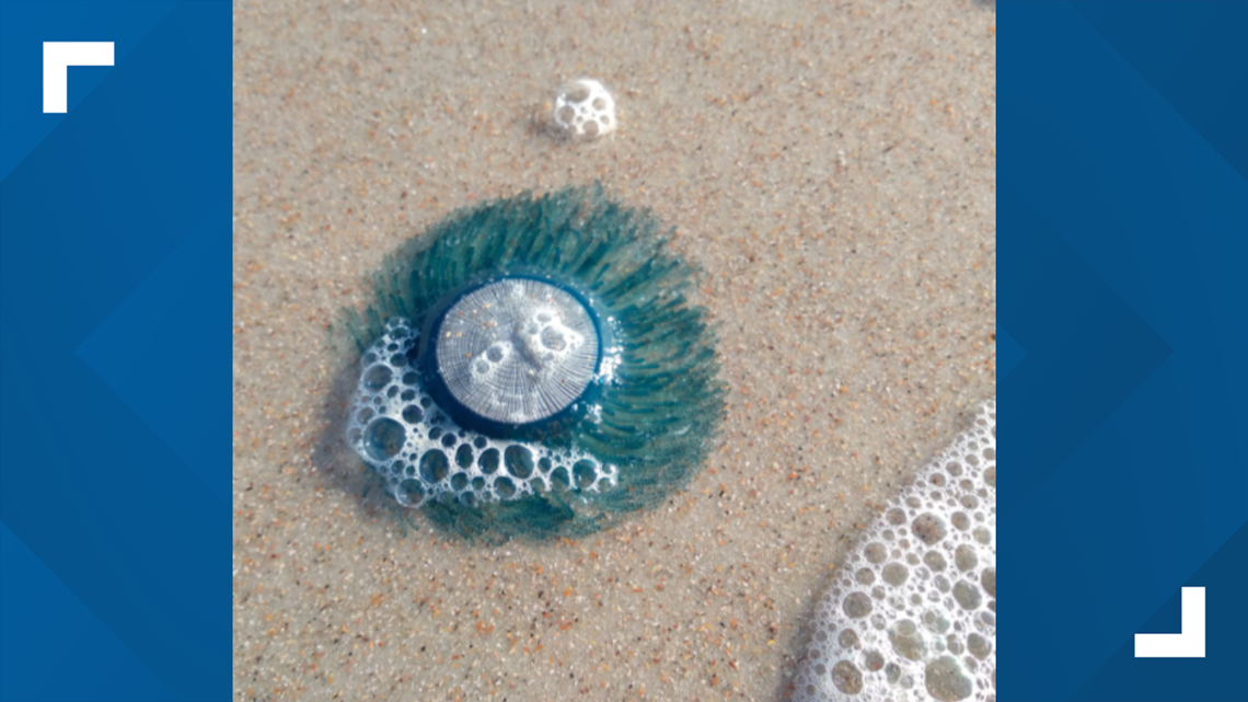 What are those blue things washing up on North Florida beaches?