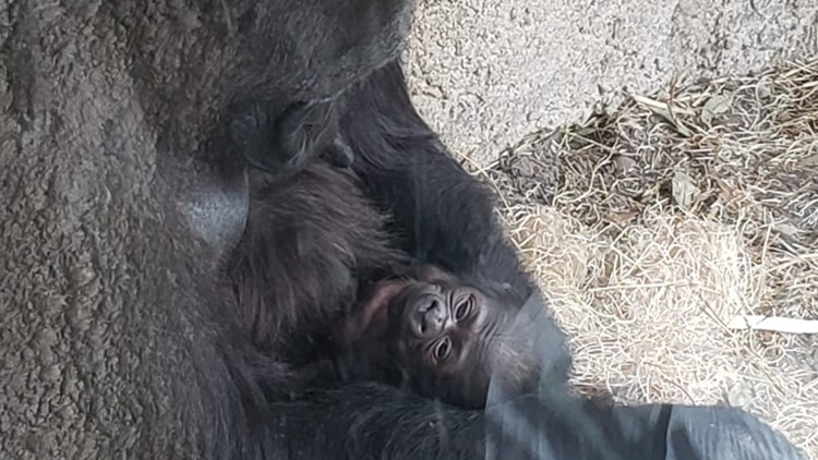Critically endangered male gorilla born at Jacksonville Zoo