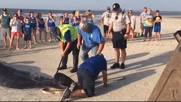 Multiple whales dead after mass pilot whale stranding at St. Simons Island