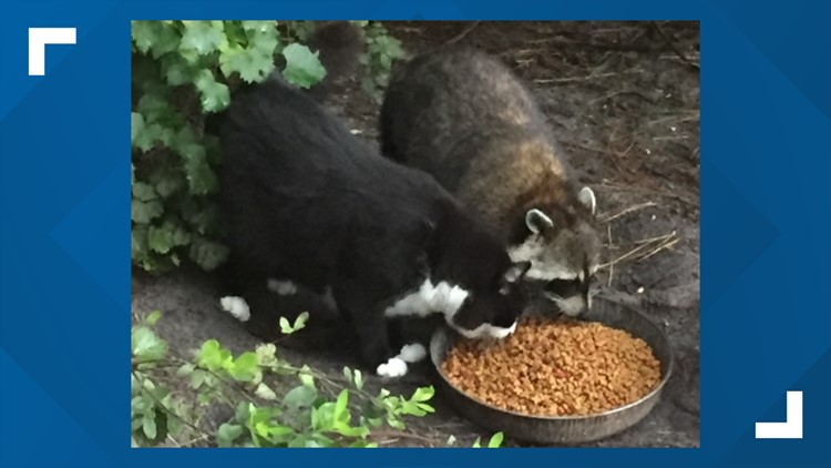 Watch | This cat and raccoon are best friends and it's adorable 😍
