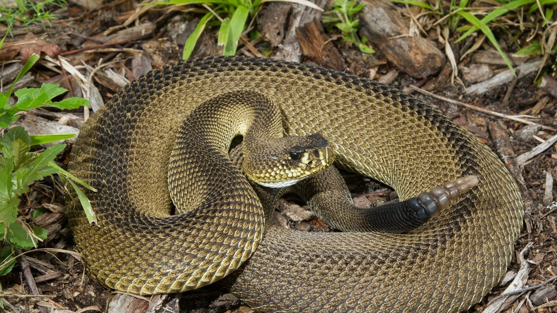 Rare 'patternless' venomous snake discovered in North Florida