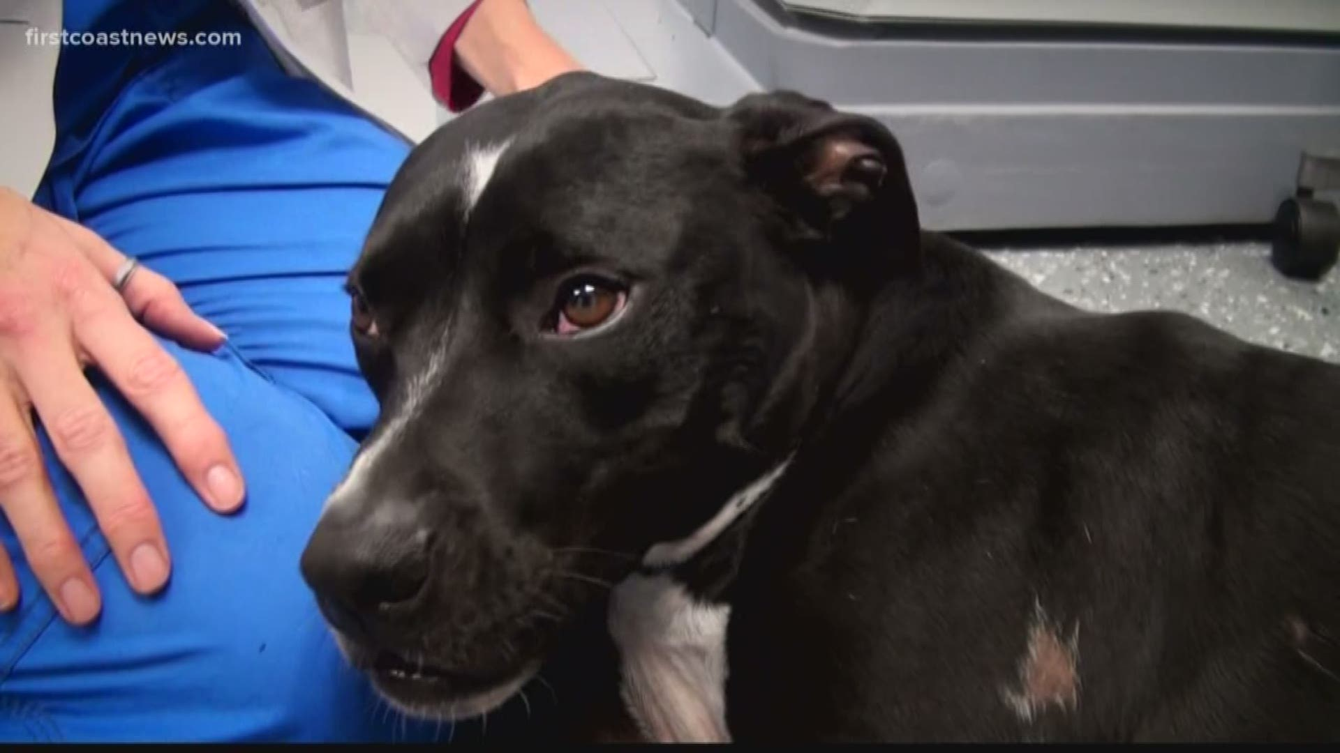 How To Find Cancer As Tiny As A Bb On Your Dog Firstcoastnews Com